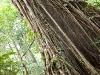 Trærne i jungelen kan bli gigantiske