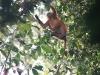 Oran-utang i jungelen