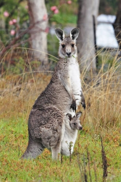 250px-kangaroo_and_joey03