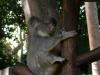 svennies-koala