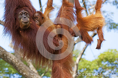borneo-orangutan-jungle-malaysia-32194050