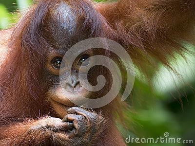 borneo-orangutan-jungle-malaysia-45326984
