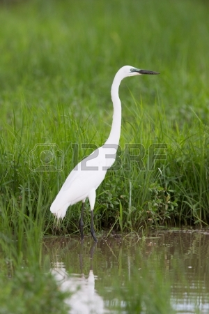 17880061-cattle-egret