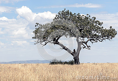 acacia-tree-tanzania-cloudy-day-lion-branches-43374620
