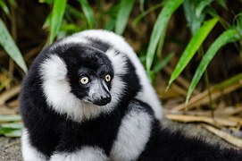 black-and-white-ruffed-lemur-1043643__180