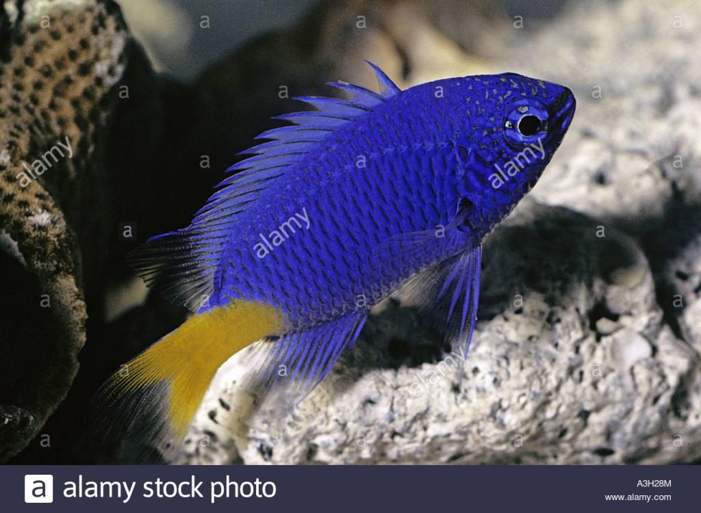 blue-devil-damselfish-abudefduf-cyaneus-great-barrier-reef-A3H28M