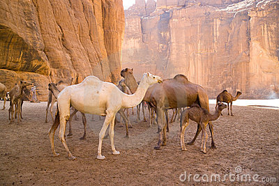 camels-mountain-desert-chad-7925191