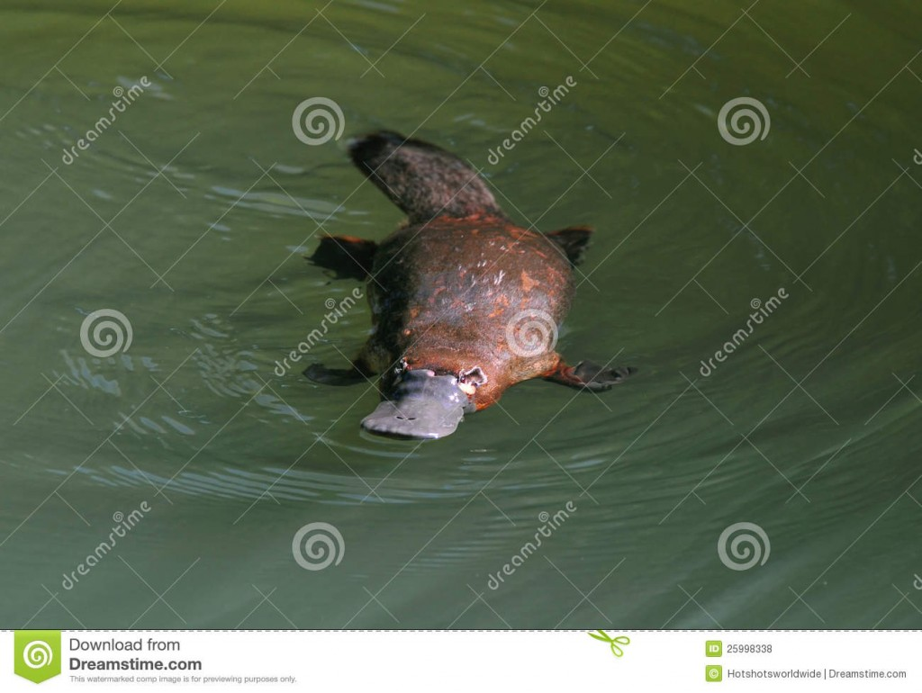 elusive-australian-duck-billed-platypus-queensland-25998338