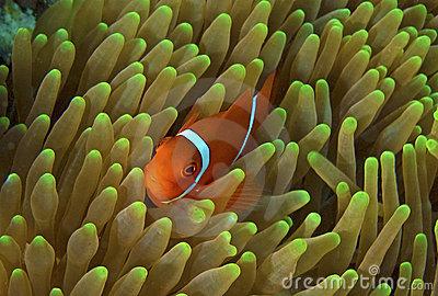 great-barrier-reef-clown-fish-nemo-15791556