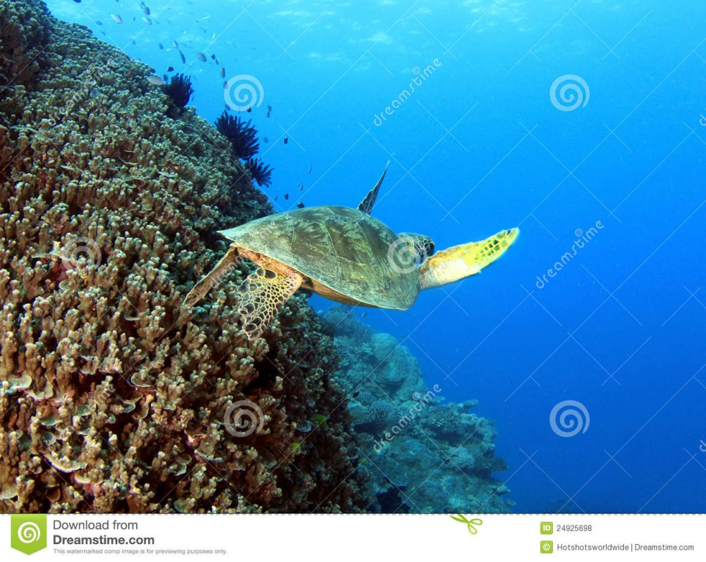 green-turtle-great-barrier-reef-cairns-australia-24925698