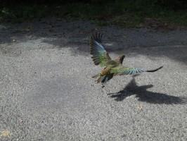 kea_bird_new_zealand_266145