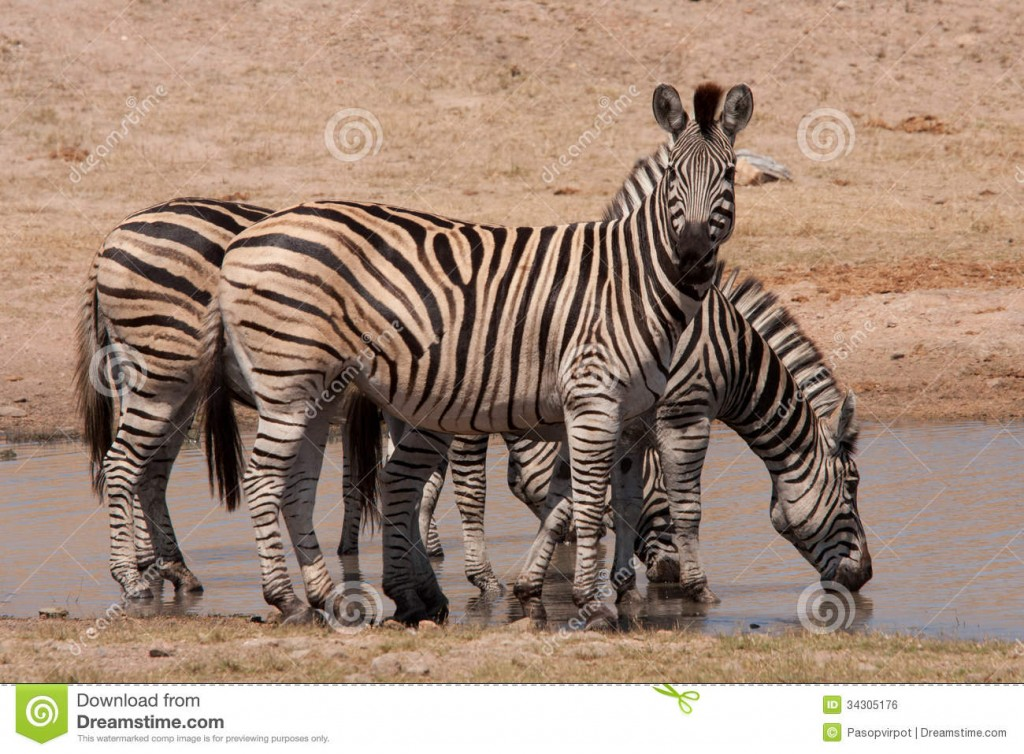 kruger-park-zebras-three-waterhole-national-south-africa-34305176