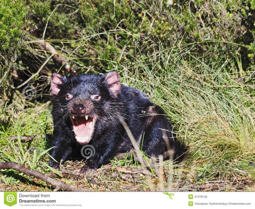 tasmanian-devil-open-mouth-australia-tasmania-wide-famous-endemic-marsupial-cradle-mountain-national-park-wild-life-sunny-41378146