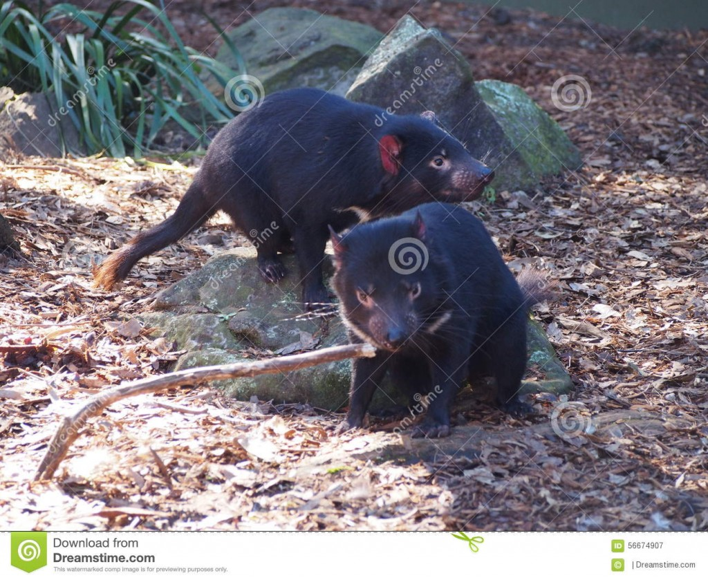 tasmanian-devils-danger-extinction-tumour-disease-australian-trying-to-rescue-them-56674907
