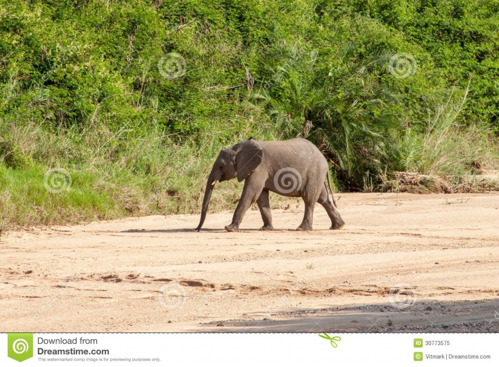 wild-elephant-come-to-drink-africa-national-kruger-park-uar-natural-themed-collection-background-beautiful-nature-30773575