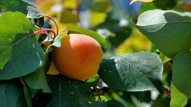 1111HG-askrose-apricot-tree-625