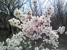 220px-Apricot_tree_flowers